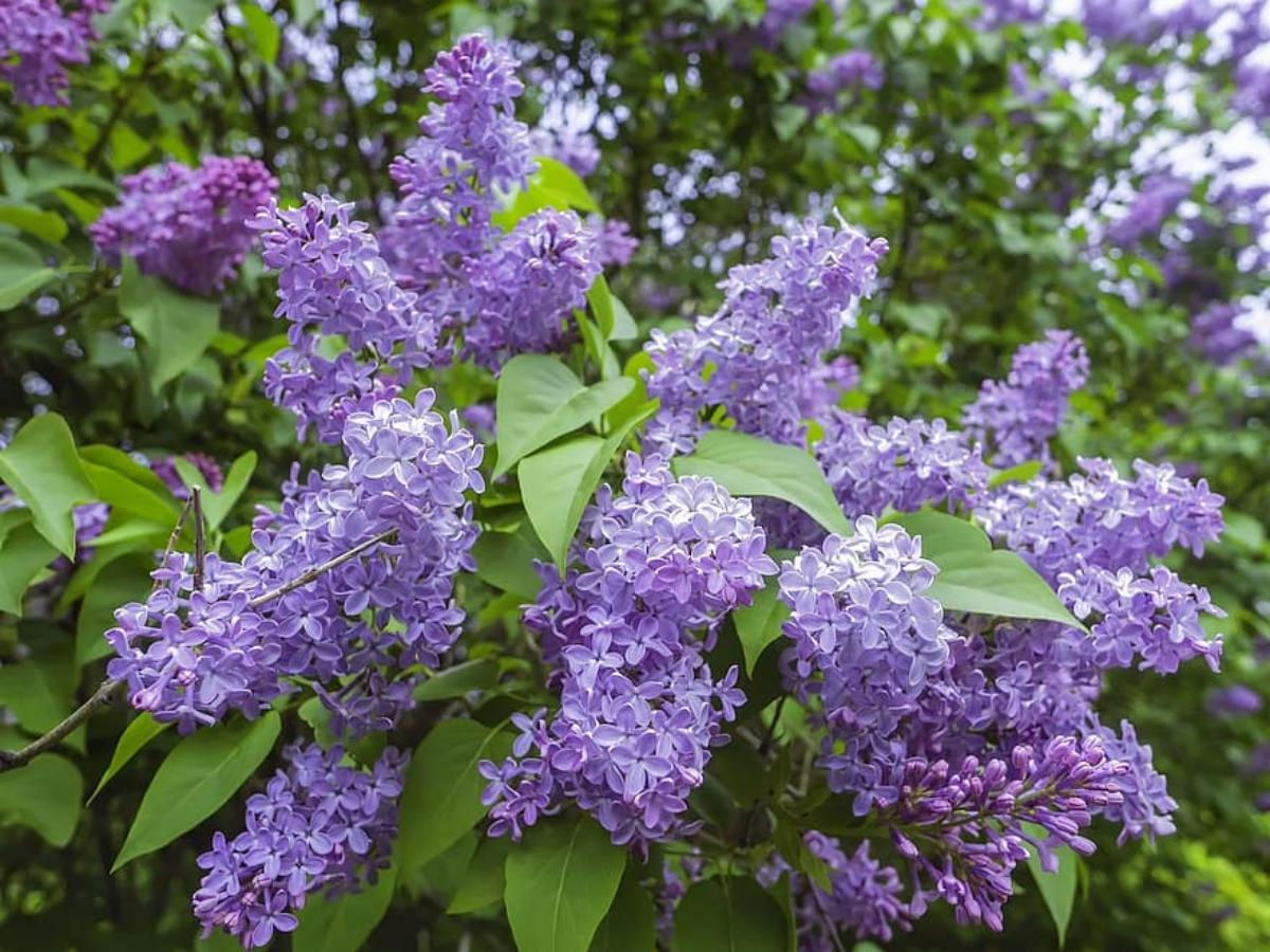 Las flores de la Syringa vulgaris son lilas