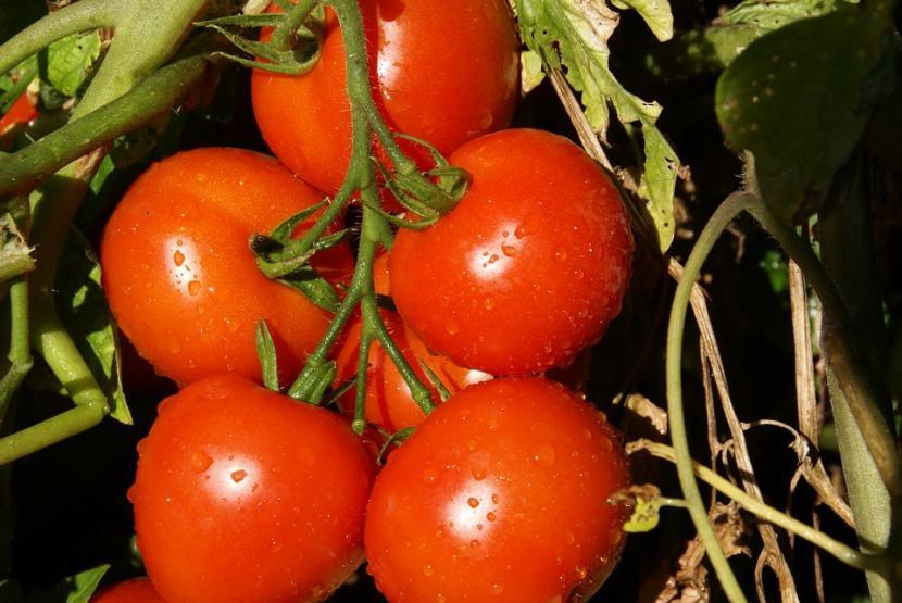Tomates en planta