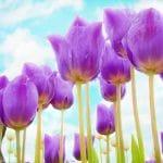 Los tulipanes pueden cultivarse en el exterior