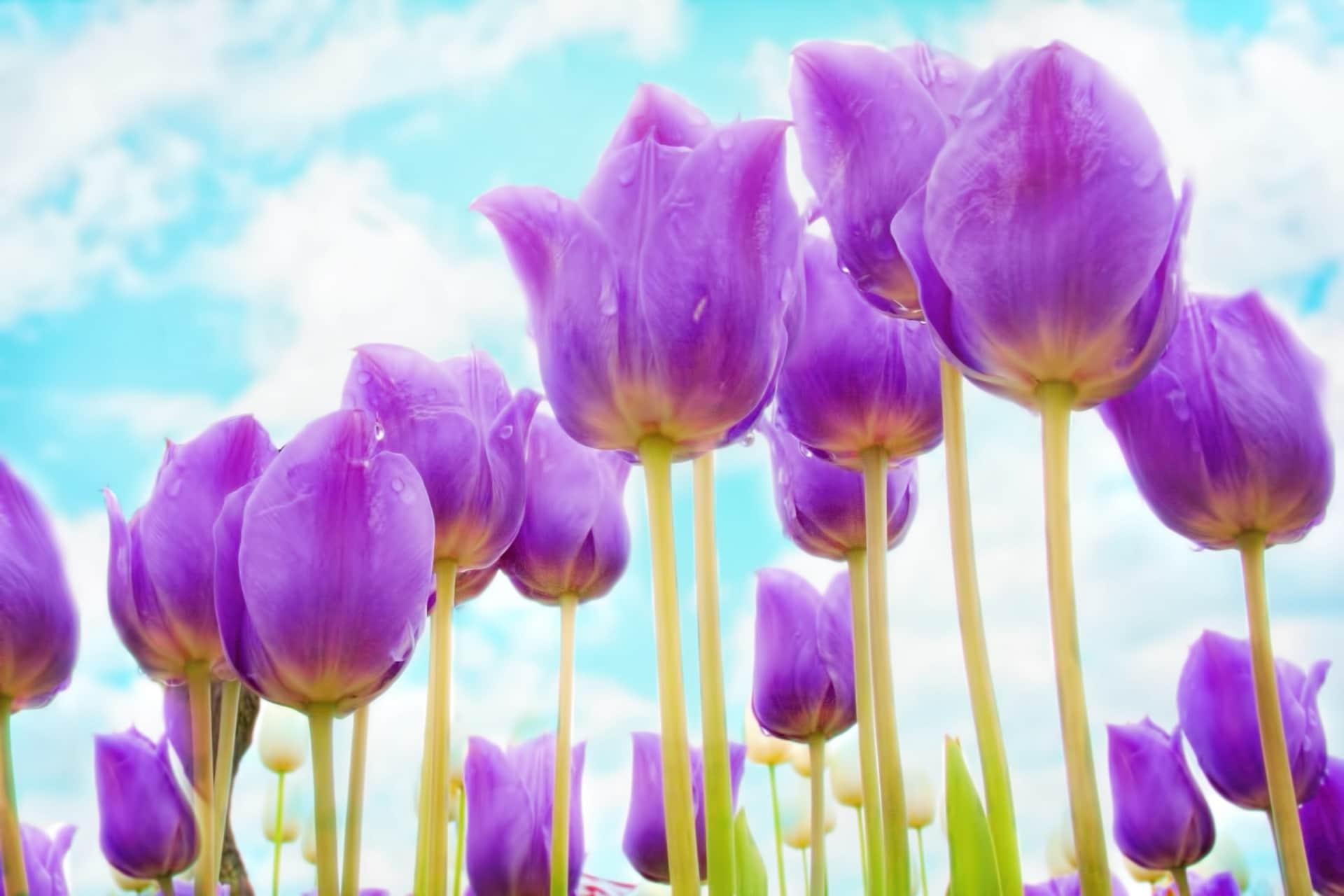 Los tulipanes pueden ser lilas