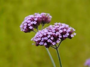 Flor de Verbena