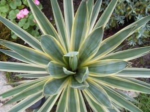 Yucca de hojas variegadas