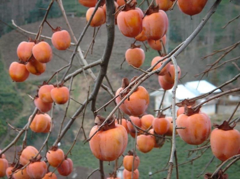 Diospyros kaki, frutos del árbol del caqui