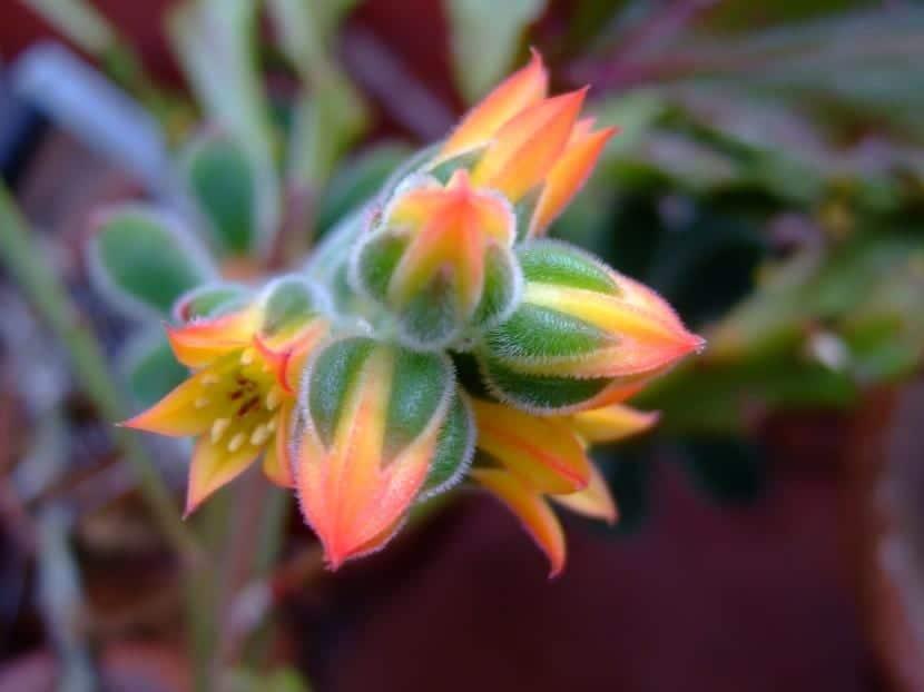 Flores de la Echeveria pulvinata