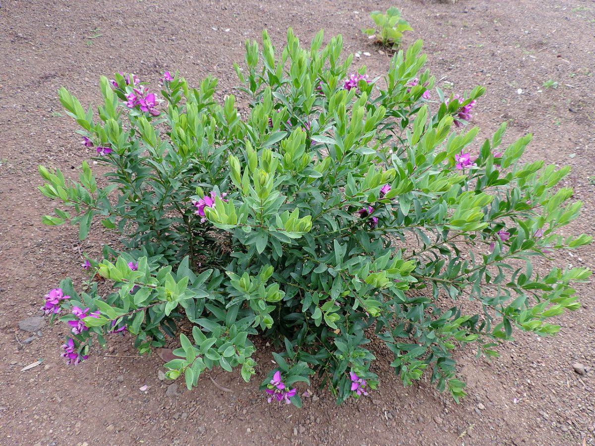 Vista de la Polygala myrtifolia