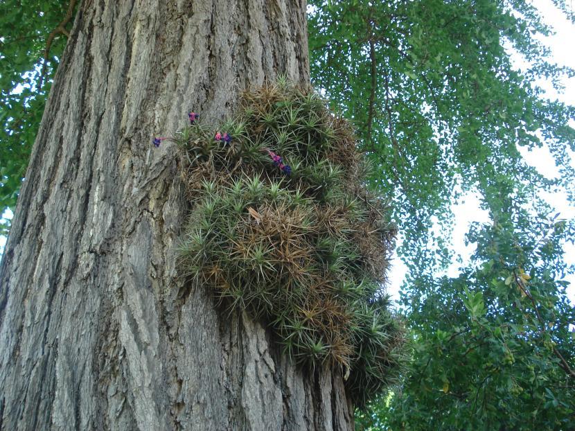 Tillandsia aeranthos en hábitat