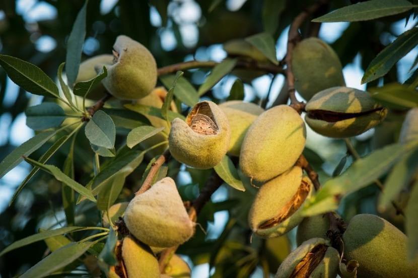 Almendras en el árbol