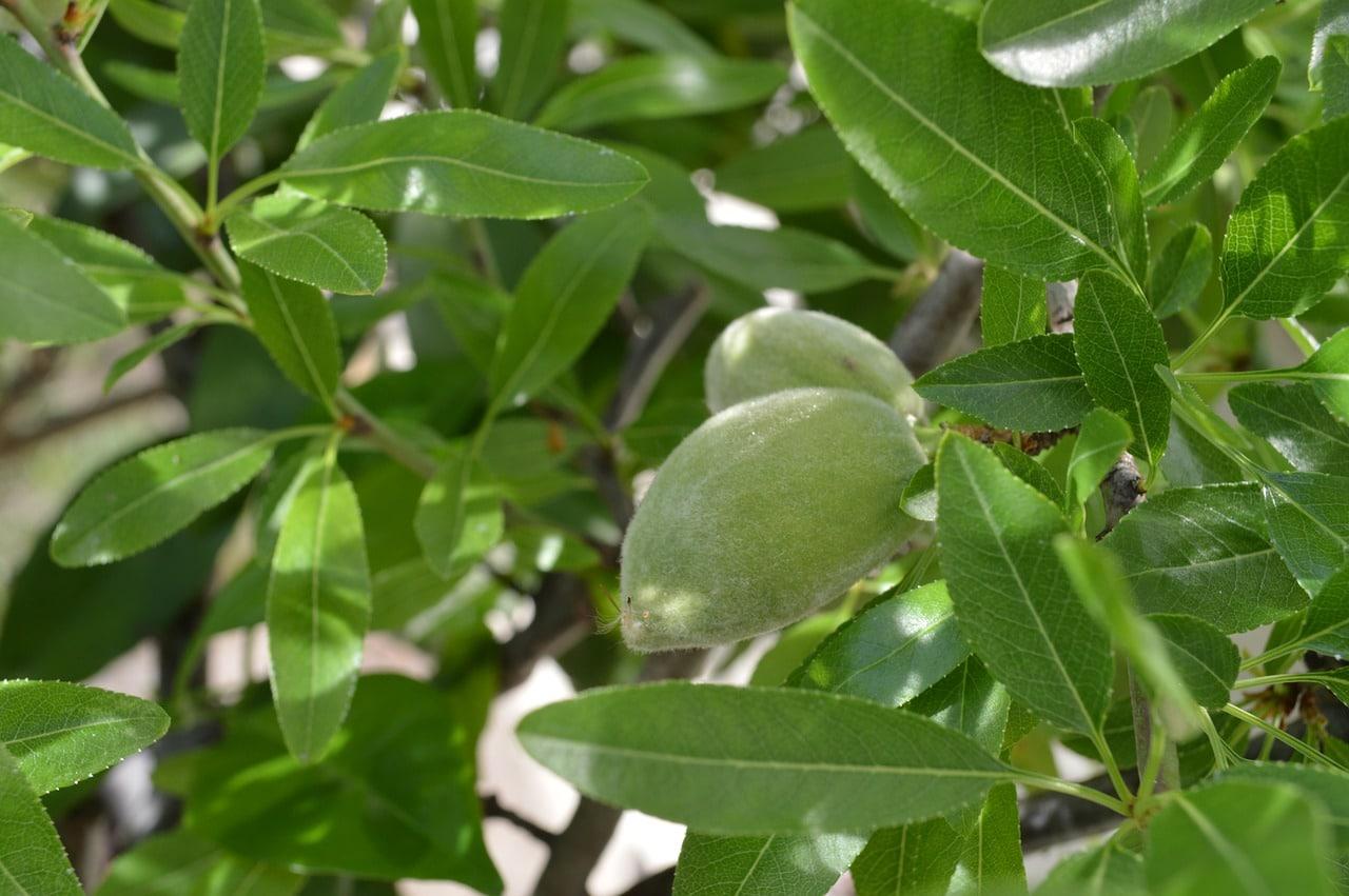 El almendro es un frutal caducifolio