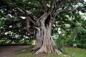 Los árboles tienen raíces
