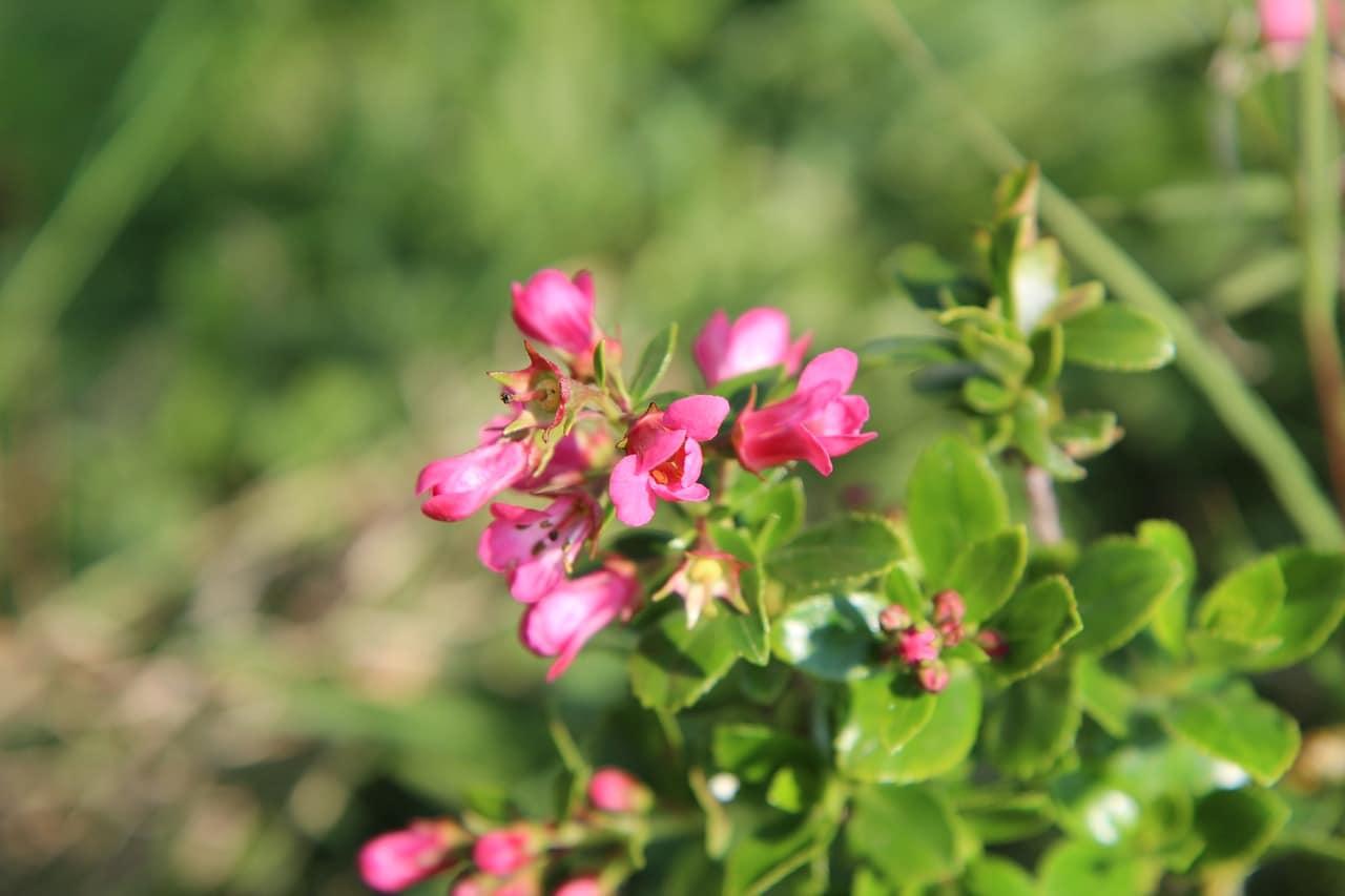 Los arbustos con flores son preciosos para jardín o maceta