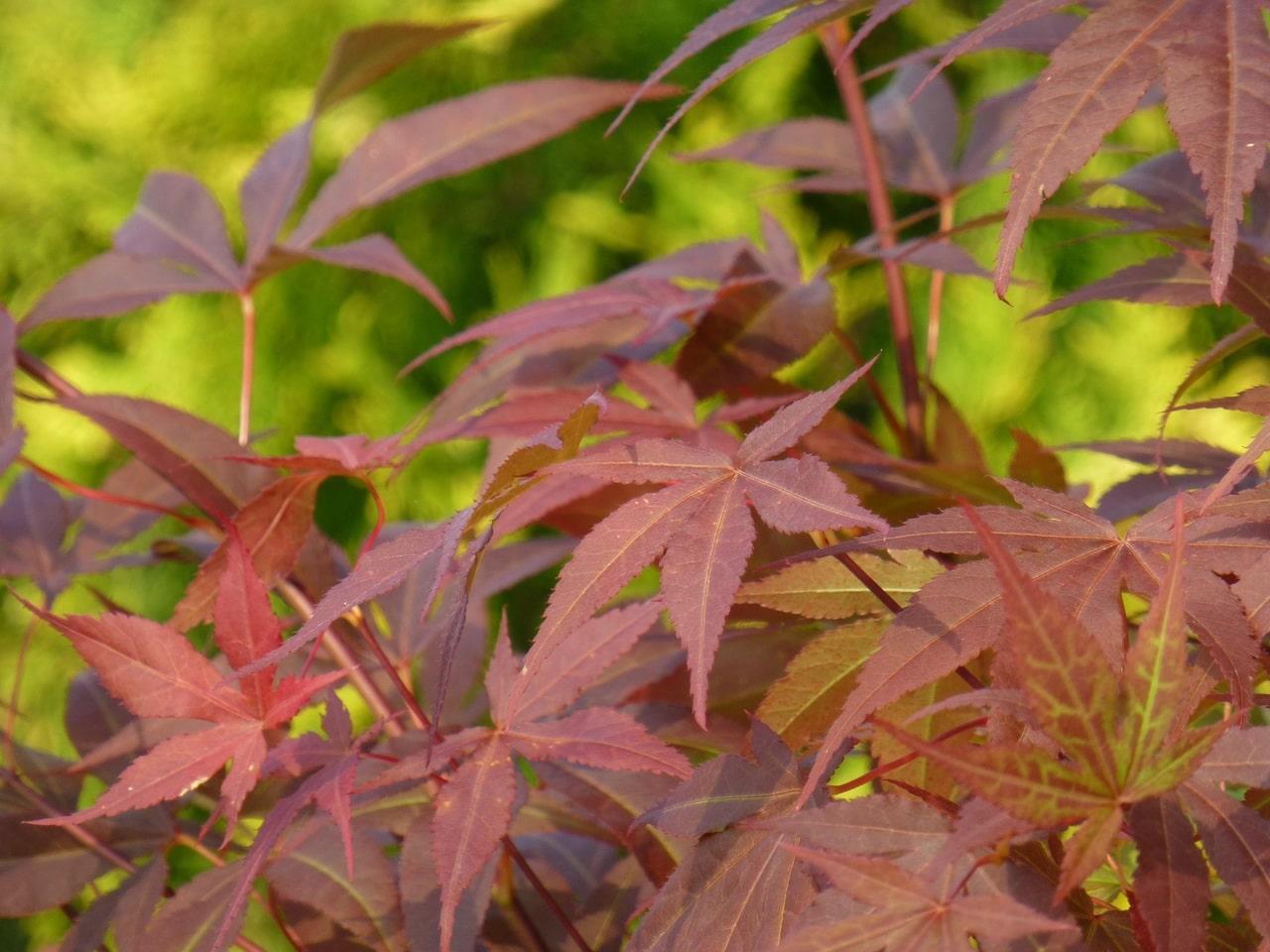 El arce japonés es un arbusto caducifolio