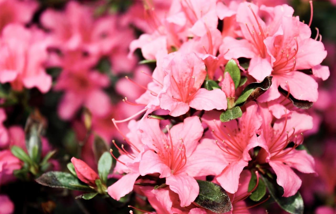 Las azalea son arbustos perennes
