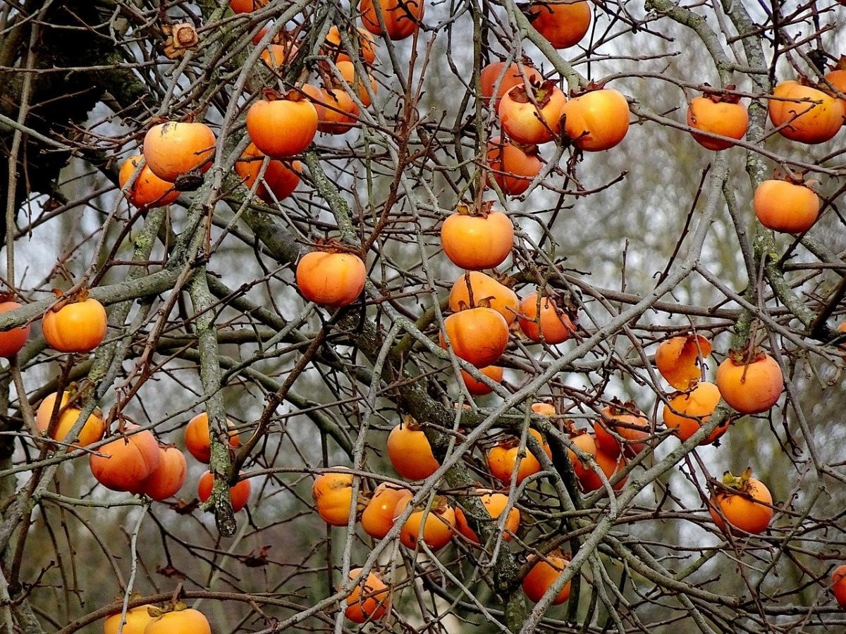 Los caquis son frutales muy decorativos