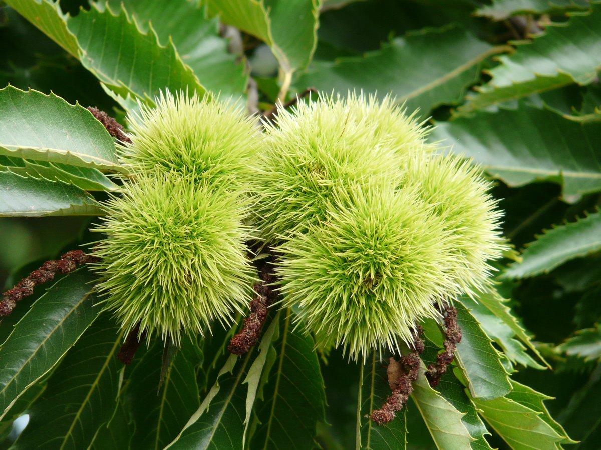 El castaño es un frutal para climas templados