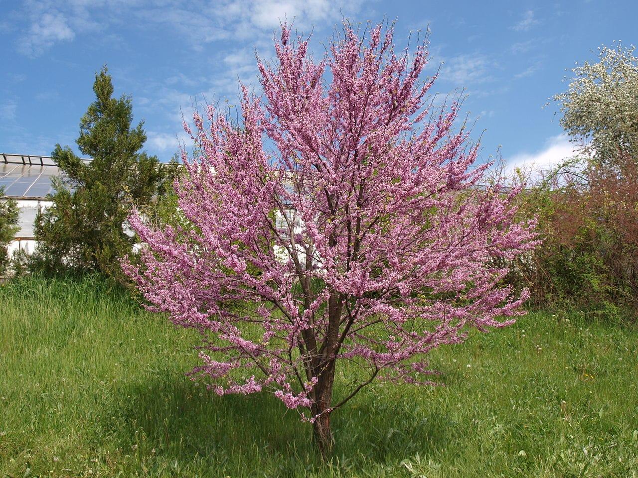 Los Cercis son árboles de poca raíz