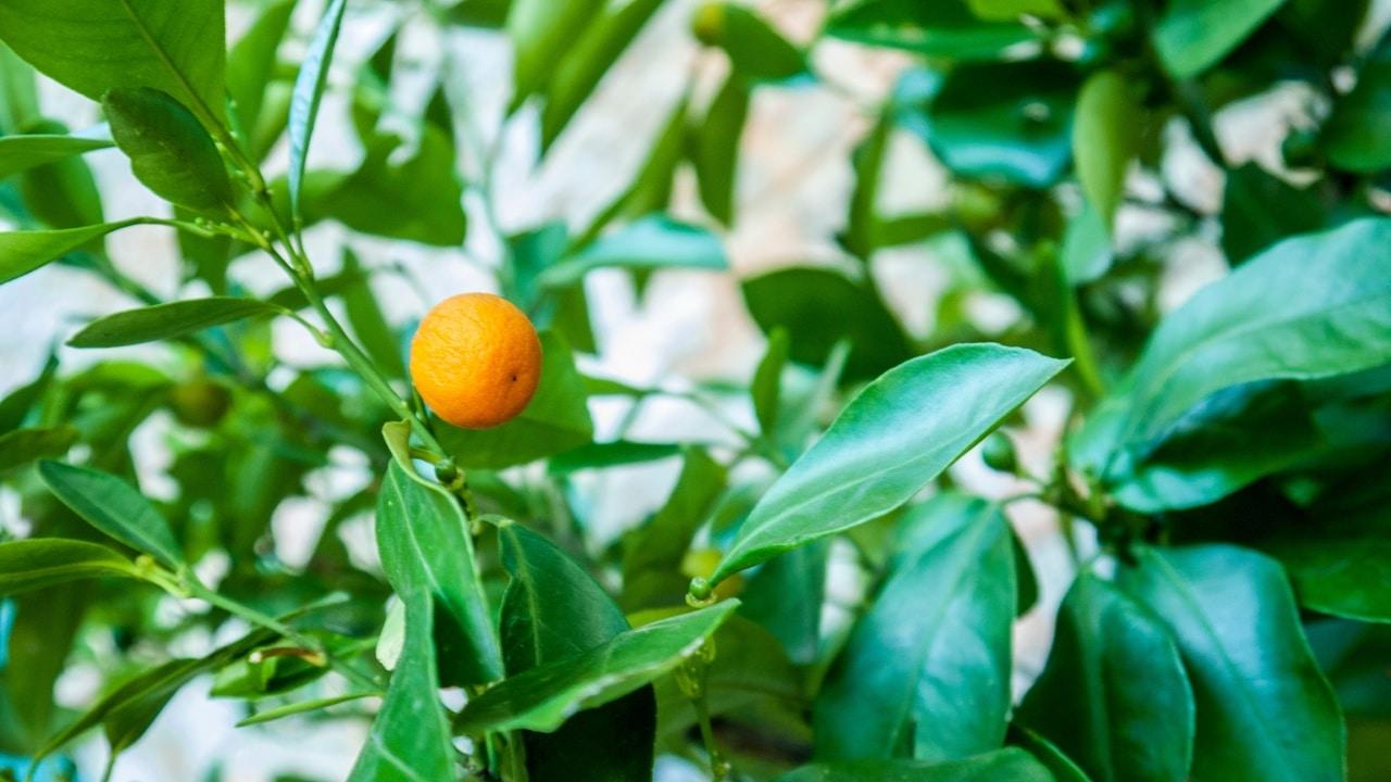 Los Citrus son frutales