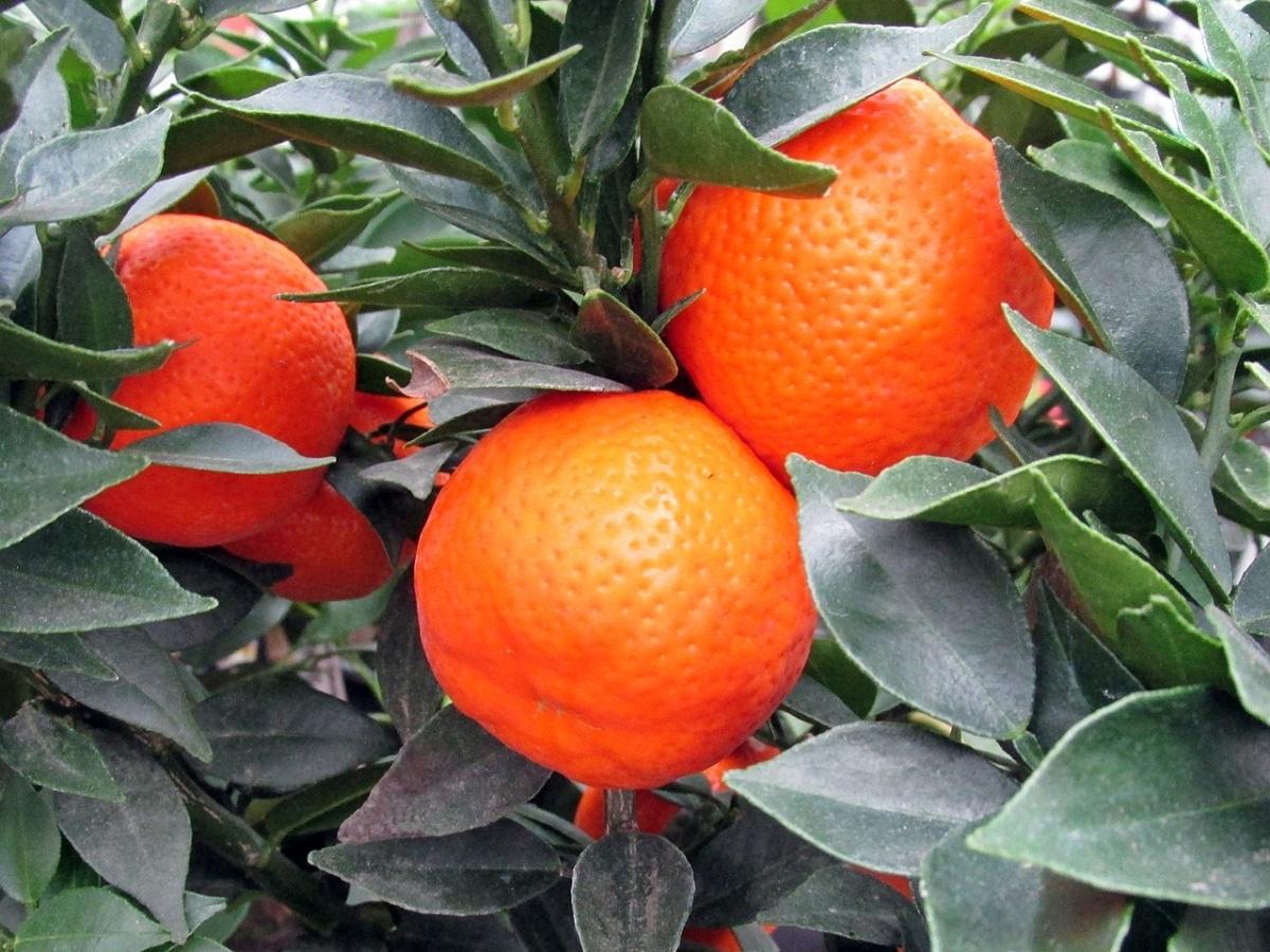 Las clementinas son árboles de pequeño tamaño, ideal para suelos calizos