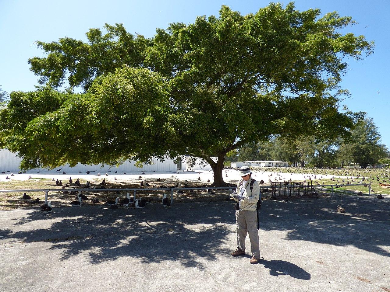 Vista del Ficus benjamina