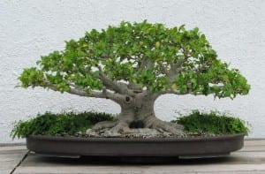 Ficus neriifolia