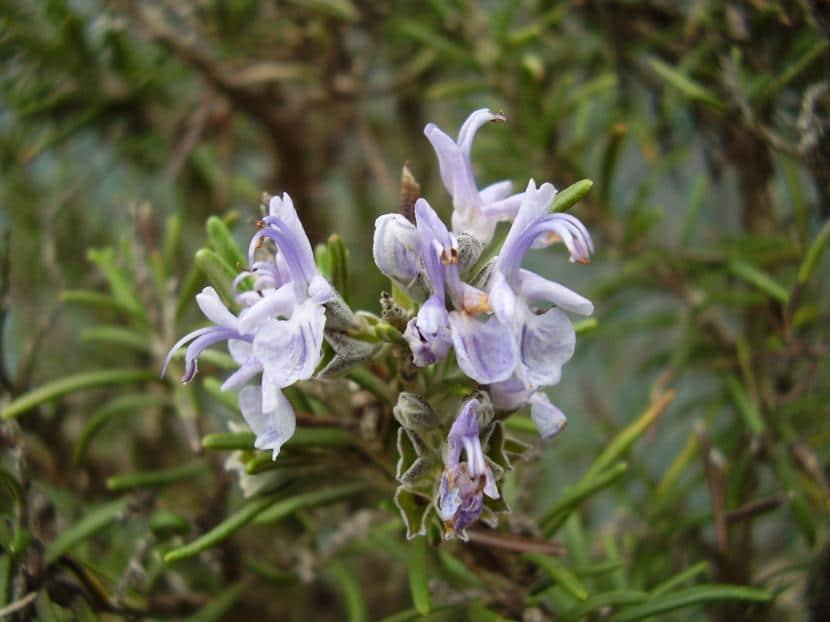 Flores de romero