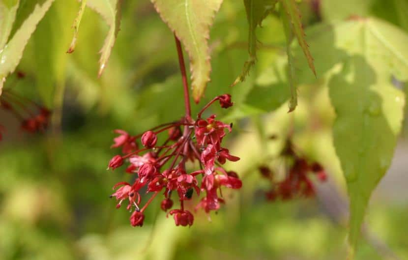 Flores del Arce Japonés