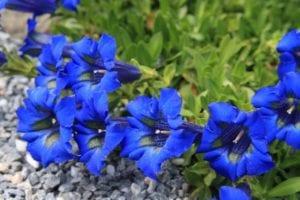 Genciana azul