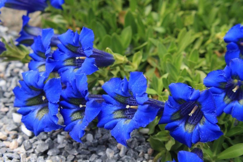 Genciana, una planta que no puede faltar en tu jardín