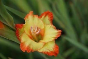 Flor de gladiolo amarillo