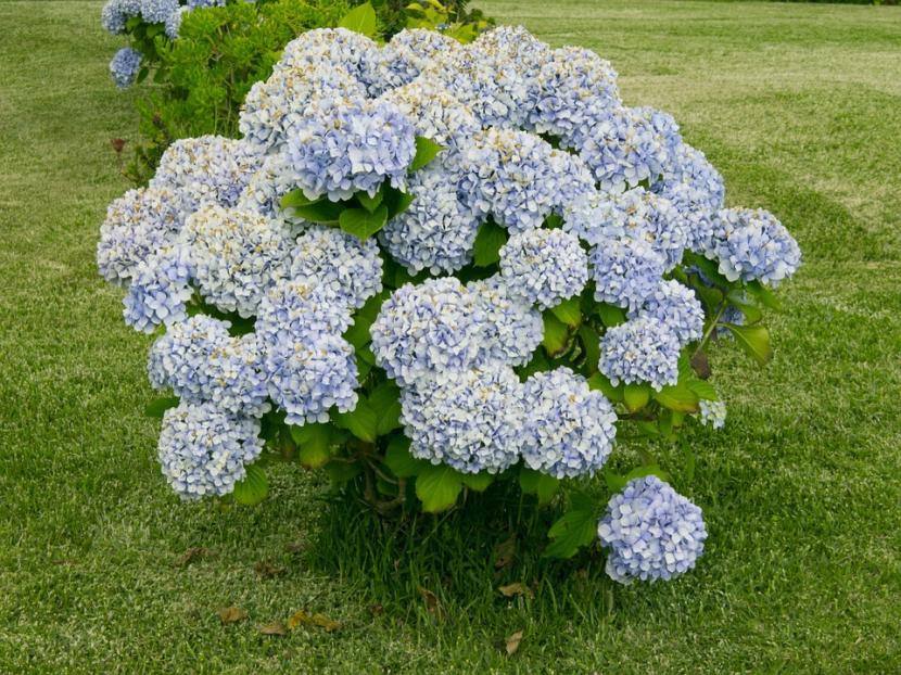 Qu es un arbusto y qu tipos hay for Arbustos con flores para jardin
