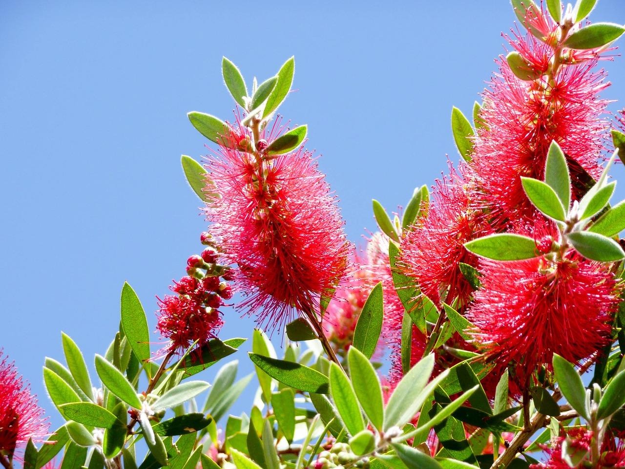 El limpiatubos es un arbusto de hoja perenne