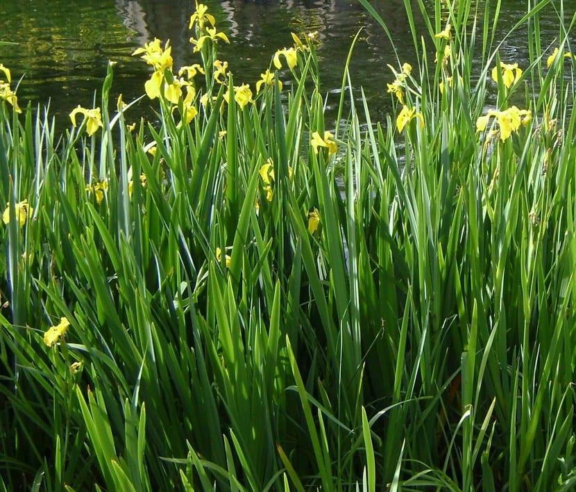 Lirio amarillo en estanques