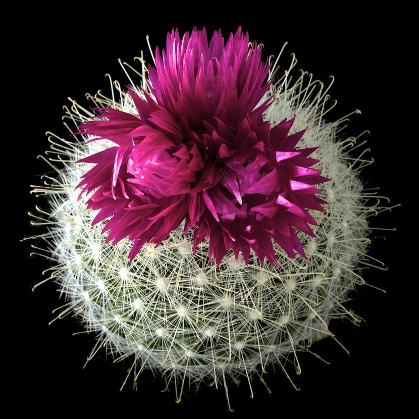 Mammillaria con flor artificial