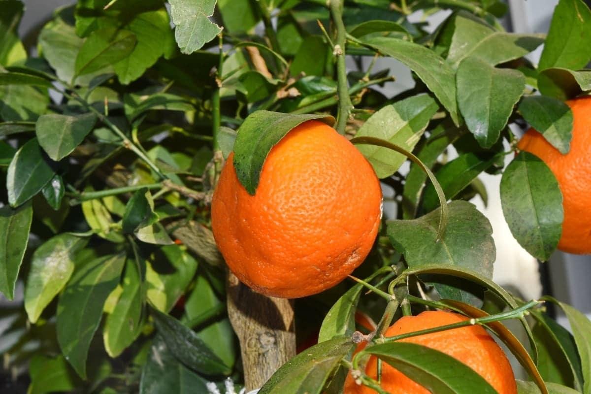 El mandarino es un cítrico pequeño