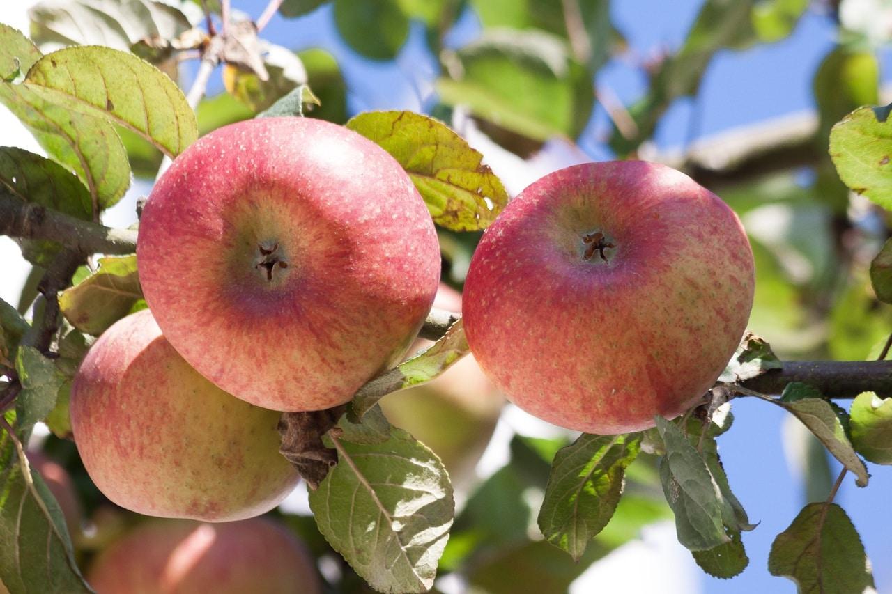 El manzano es un árbol frutal que crece rápido