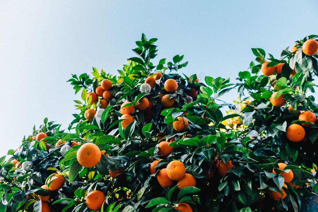 El naranjo es un frutal de hoja perenne