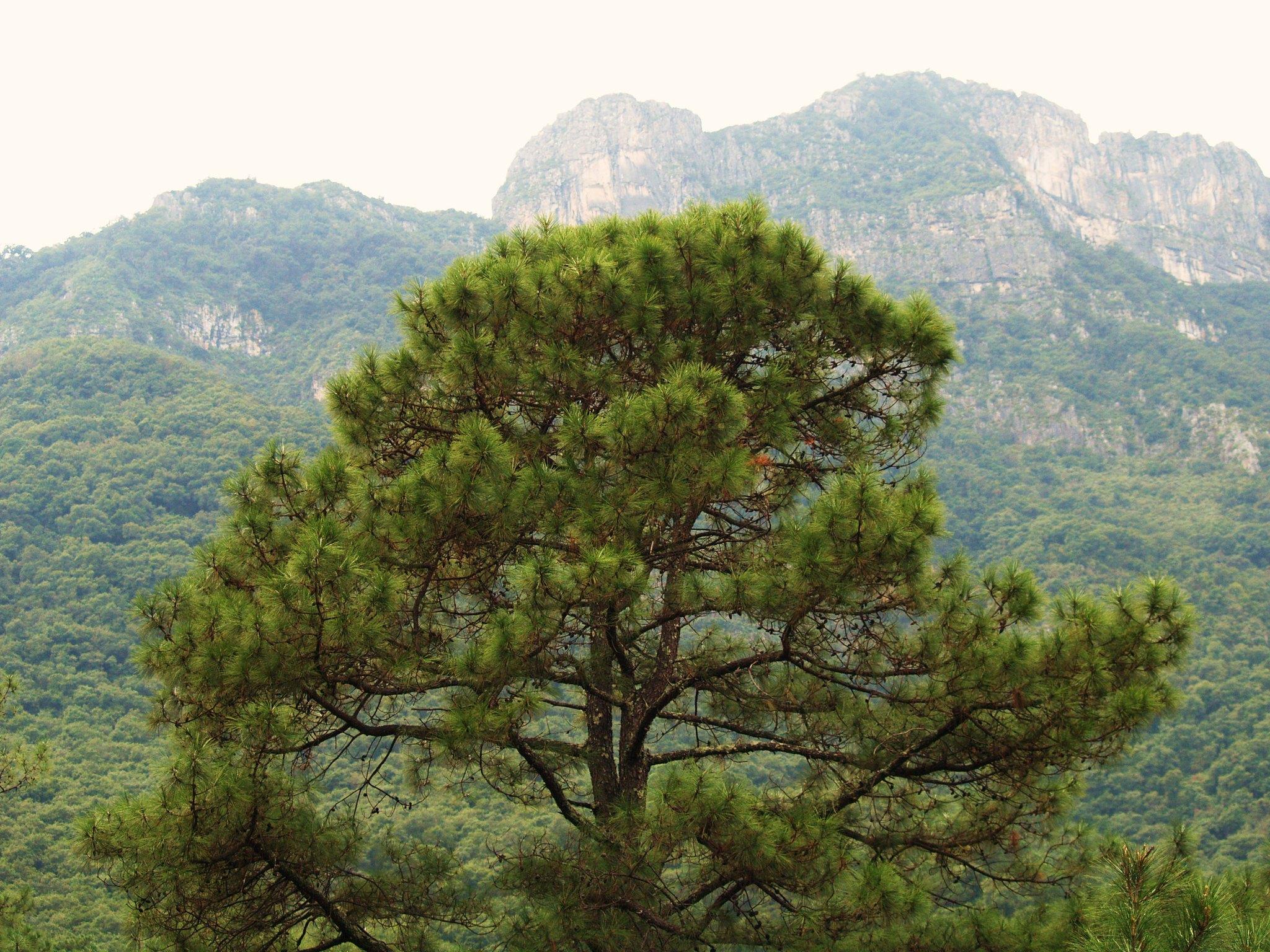 Los pinos coníferas de raíces potentes