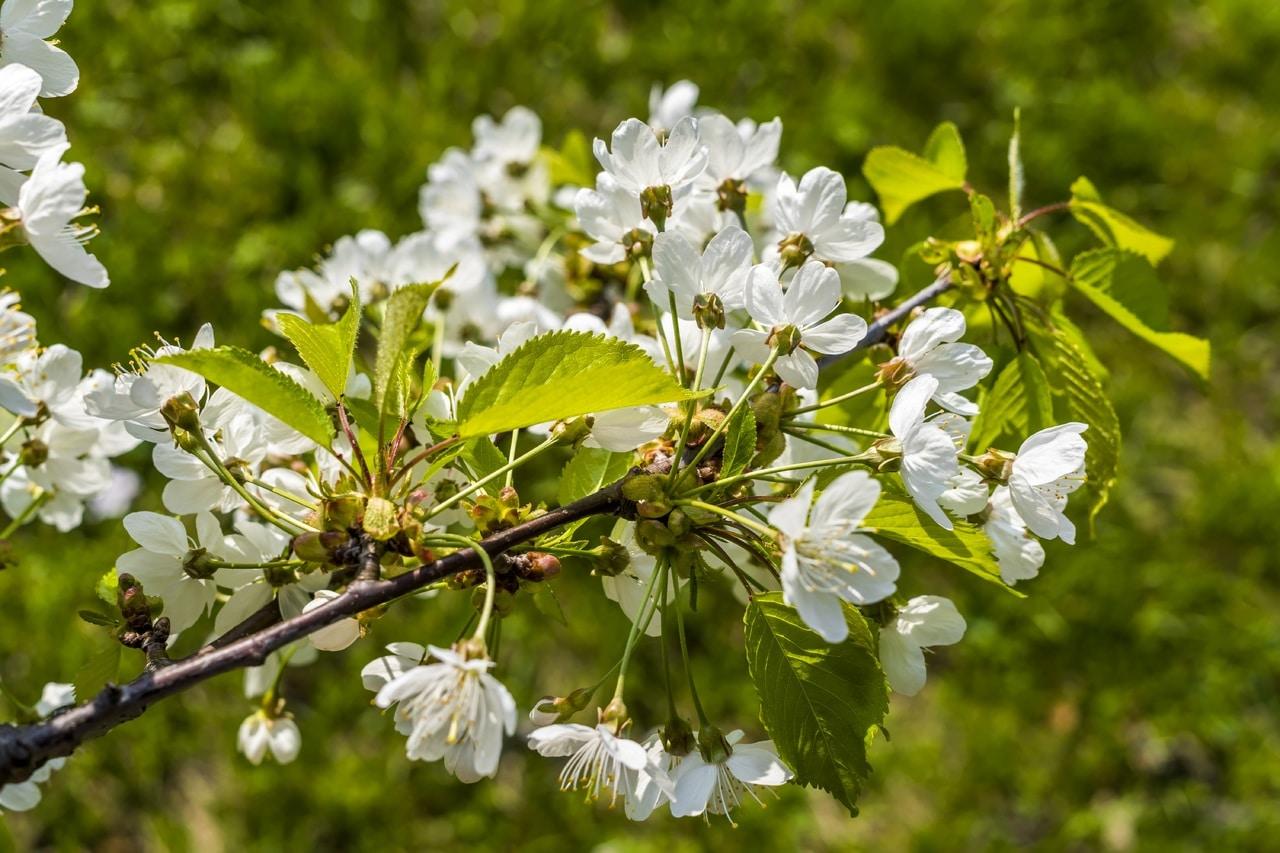 El Prunus spinosa es un árbol que produce frutos comestibles