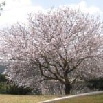 Prunus dulcis, el nombre científico del almendro.