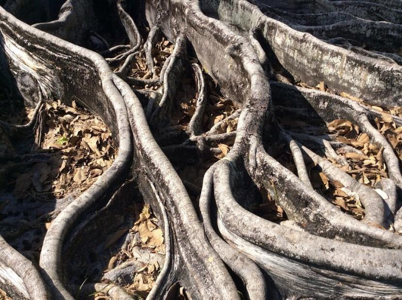 Hay algunas plantas que tienen raíces tóxicas para otras especies, como el eucalipto o los Ficus