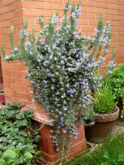 El romero rastrero se puede cultivar en maceta