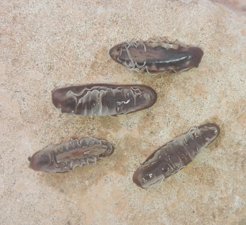 Semillas de flamboyan a punto de germinar