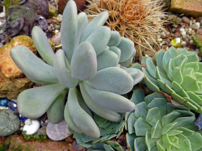Planta suculenta Pachyphytum bracteosum