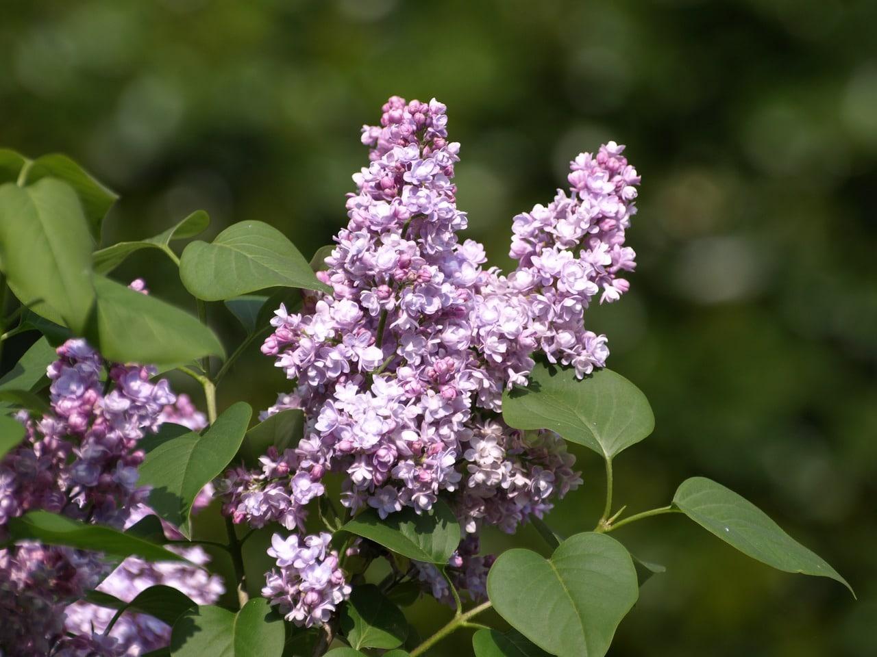 La Syringa vulgaris es un árbol resistente