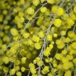 Detalle de las flores de la Acacia dealbata