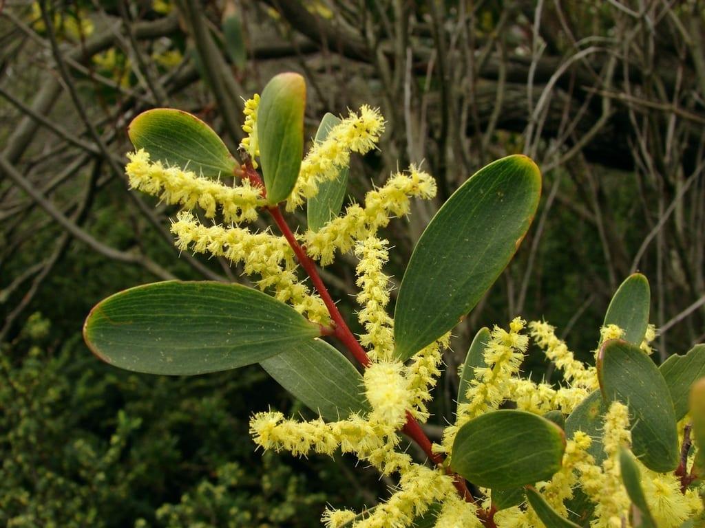 Acacia longifolia subsp. sophorae