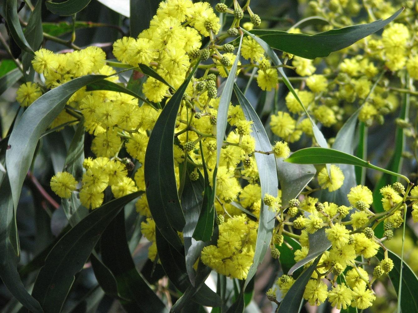 La Acacia pycnantha es un árbol muy decorativo