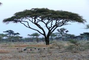 Ejemplar de Acacia tortilis