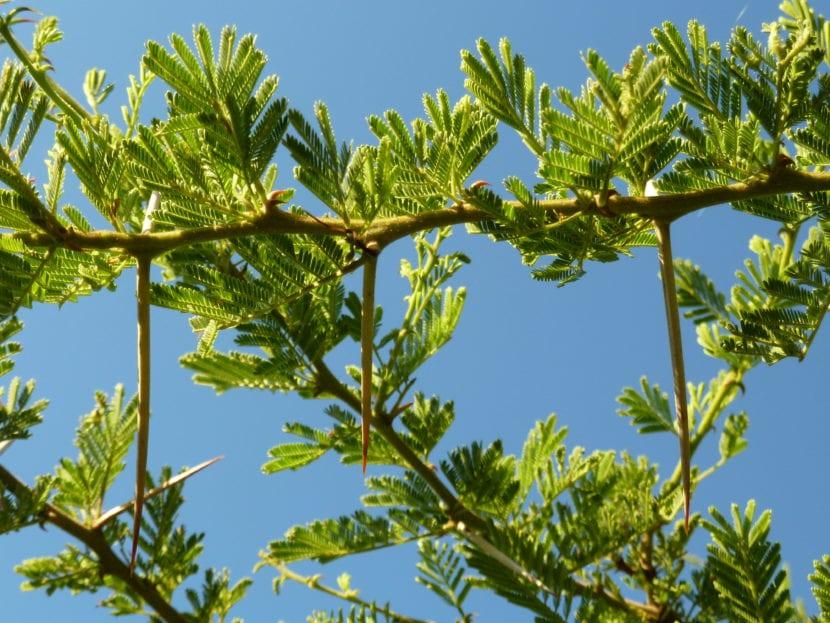 Hojas de Acacia tortilis