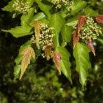 Acer ginnala, un tipo de arce con hojas caducas