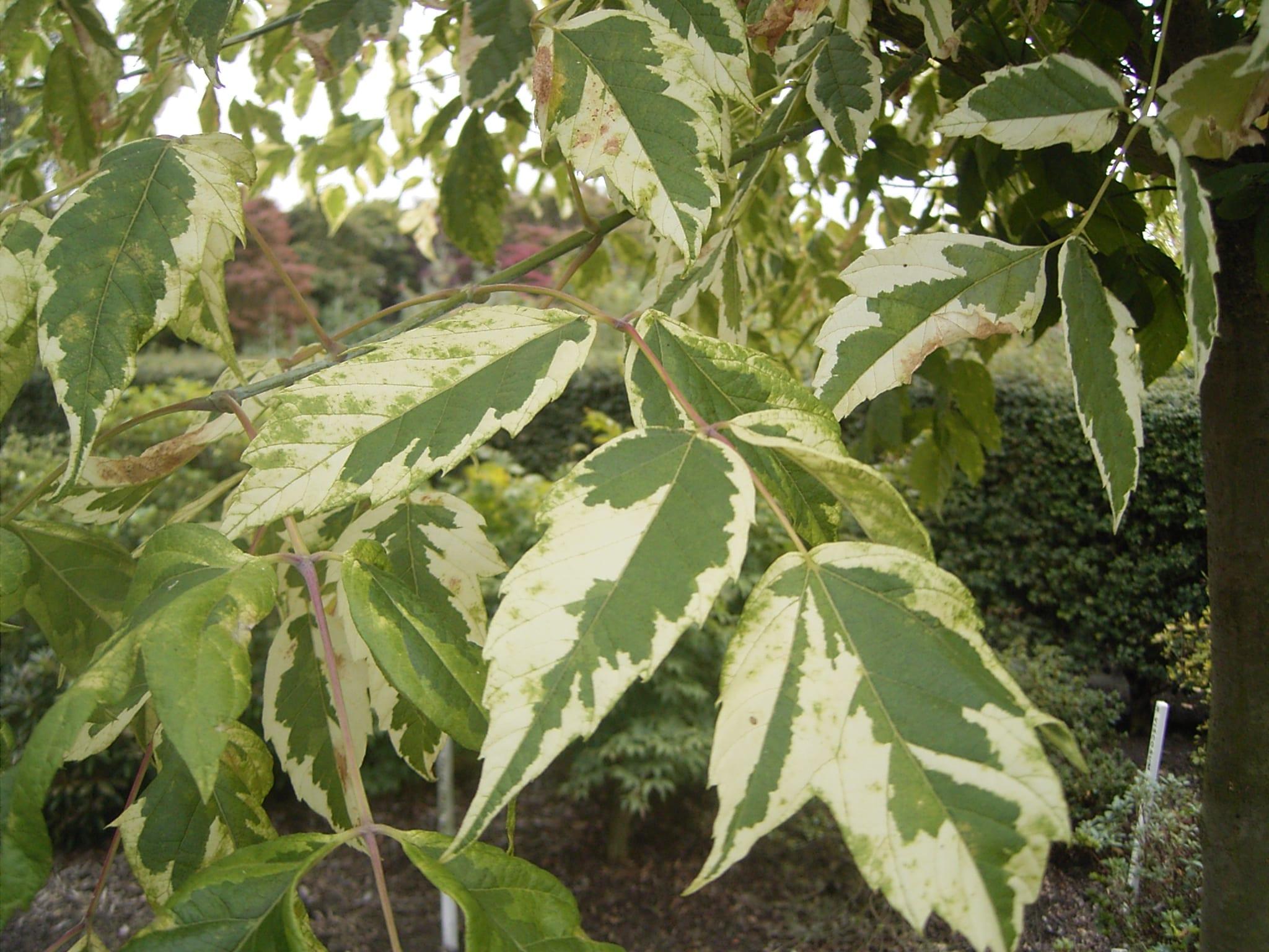 Acer negundo 'Aureomarginatum'